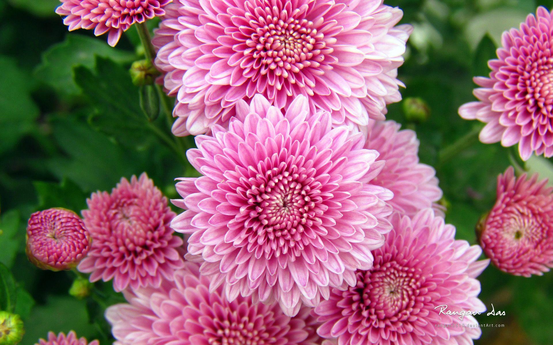 Chrysanthemum Flowers Wallpapers Hd Wallpapers Flowers Pink Flowers Wallpaper Beautiful Flowers
