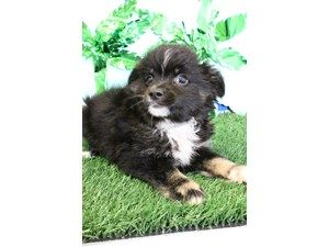Available Puppies Petland Racine Puppies Dogs For Sale Dogs