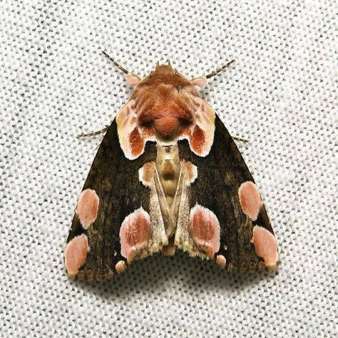 Peach Blossom Moth How Beautiful Is This Insektenkunst Schmetterling Motte