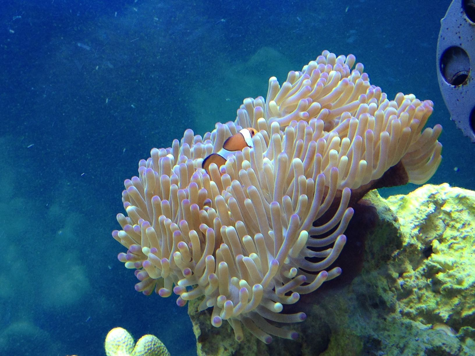 clownfish and hosting anemone in our Saltwater Aquarium