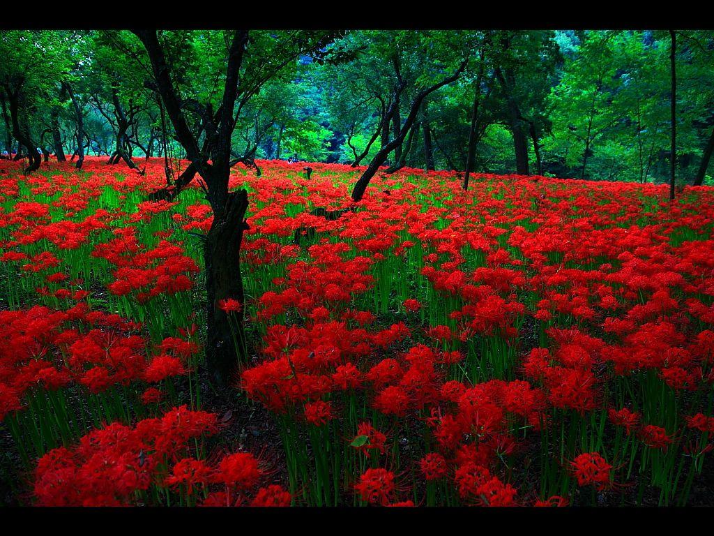 彼岸花 ヒガンバナ の壁紙 曼珠沙華 彼岸花 ヒガンバナ の厳選壁紙集 Naver まとめ Beautiful Pictures Pictures Country Roads