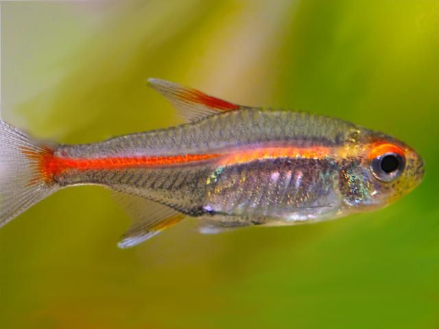 Here's What to Know About the Glowlight and Fire Tetra Fish | Neon ...