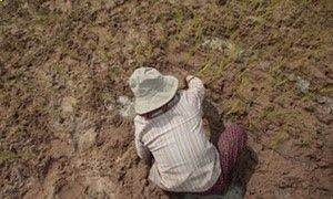 Climate change cld make 175M more people go hungry A Cambodian farmer plants rice on the dry earth in the rice paddy at the outskirt of Phnom Penh, Cambodia, in September. This year drought has affected thousands of hectares of rice paddy in the country.