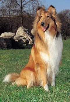 Rough Collie Dog Facts Collie Dog Rough Collie Dogs