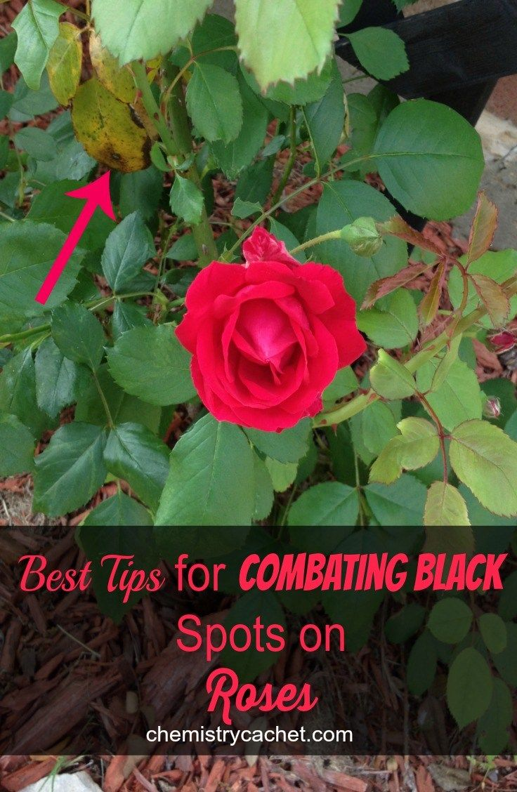 Best tips for combating black spots on roses gardens organic