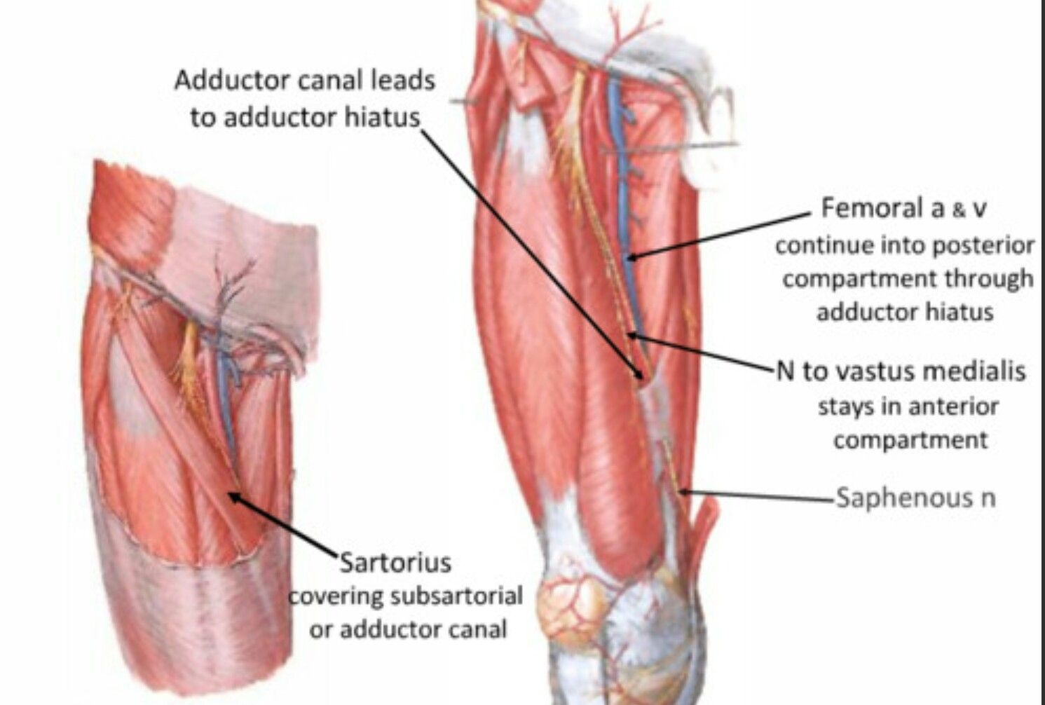 Adductor canal_03 | Canals and Foramens | Pinterest