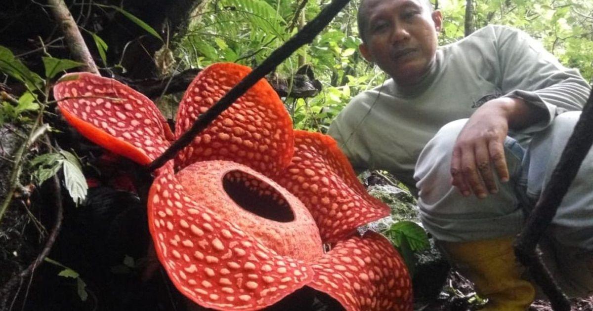 This Giant Flower Is Almost 4 Feet In Diameter In 2020 Giant Flowers Corpse Flower Bloom