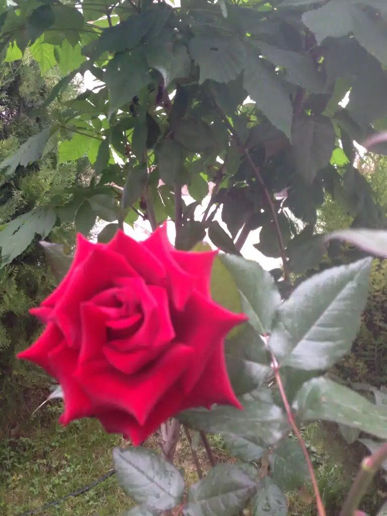 Home garden rose i❤️Uzbekistan