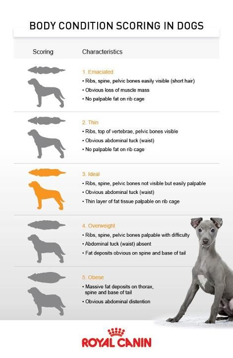Body Condition Scoring In Dogs Overweight Pet Body Condition Pets