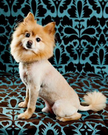 Lion Hair Cut For Dogs : Pomeranian, Puppy,, Puppies,