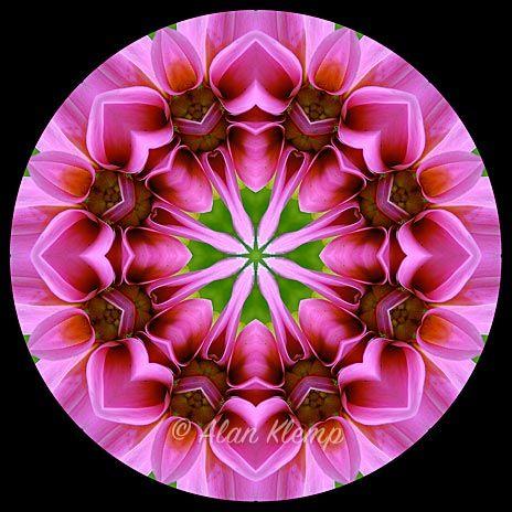 Alan Klemp Photography Flower Mandala Designs Mandalas Made With Flowers Pink Dahlia Flower Mandala Mandala Design Mandala