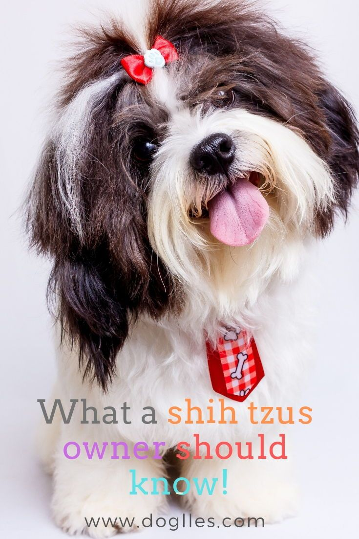 Insights That A Shih Tzus Owner Should Know