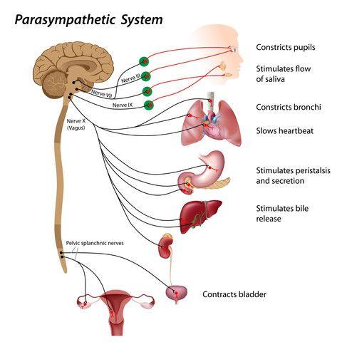 The Parasympathetic Nervous System and Vagus Nerve