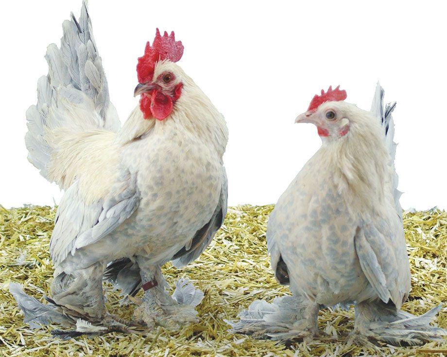 poule marans plume aux pattes