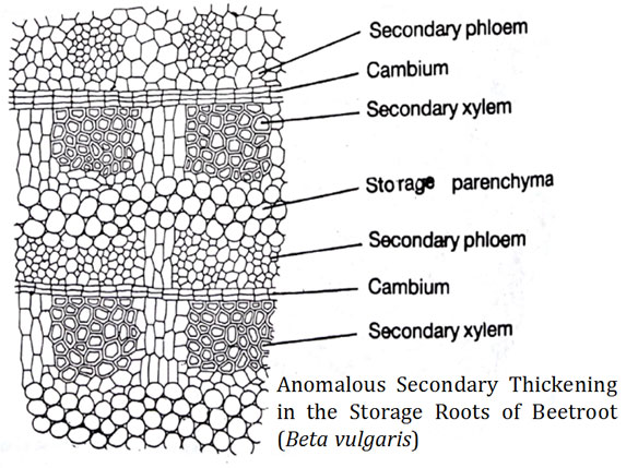 Anomalous Secondary Thickening In Storage Roots Beetroot In 2020