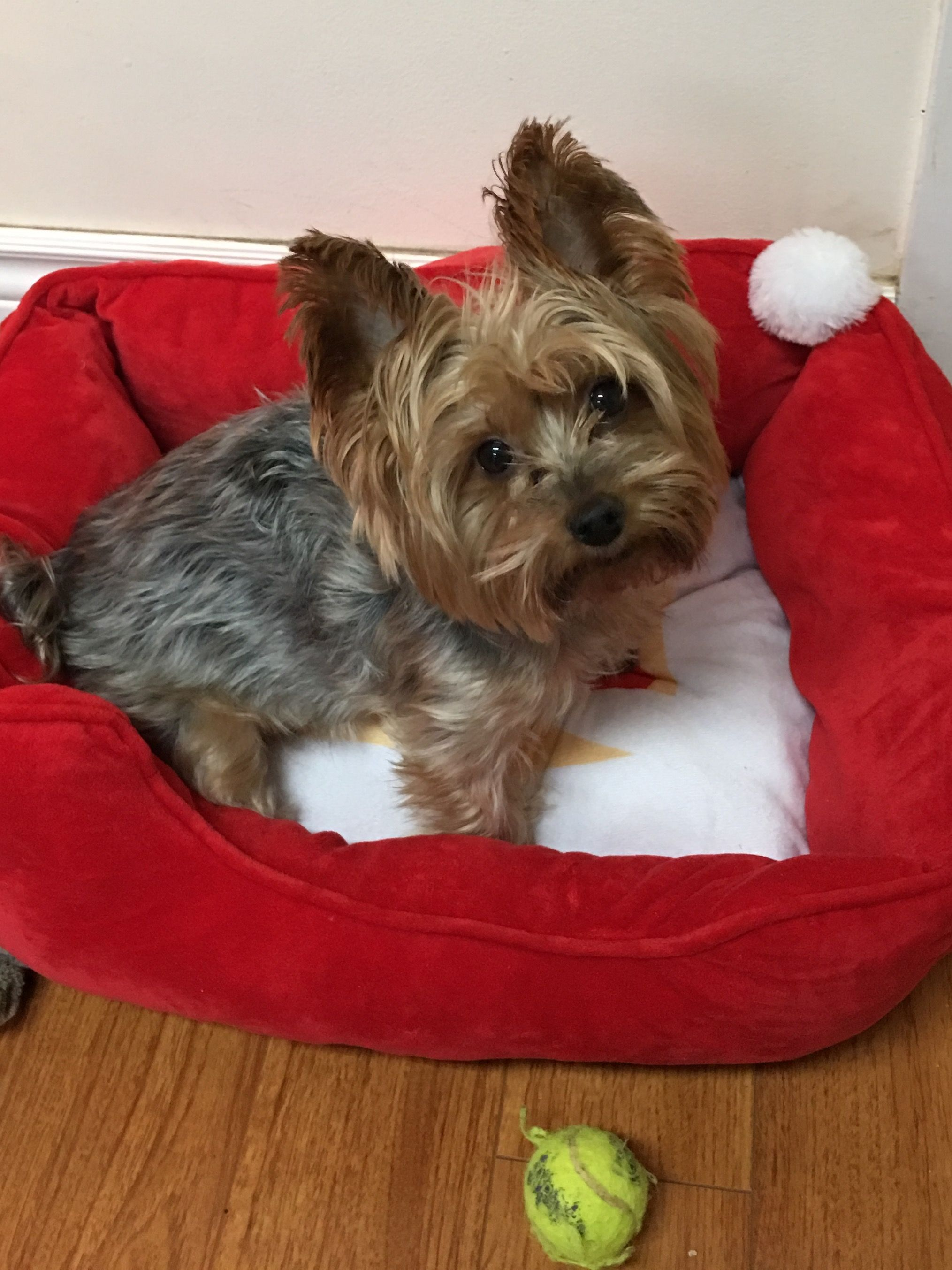 Yorkshire Terrier Energetic And Affectionate Yorkie Terrier Cute Fluffy Puppies Yorkshire Terrier