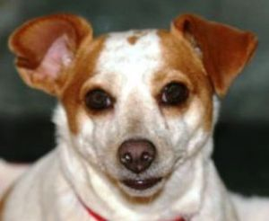 ZAHRA is an adoptable Chihuahua Dog in Point Pleasant, PA. LULUS SAYS MEET ZAHRA, our 3.5 year old RAT TERRIER who weighs 20 pounds. Zahra's the kind of dog who will lie at your feet for hours. This s...