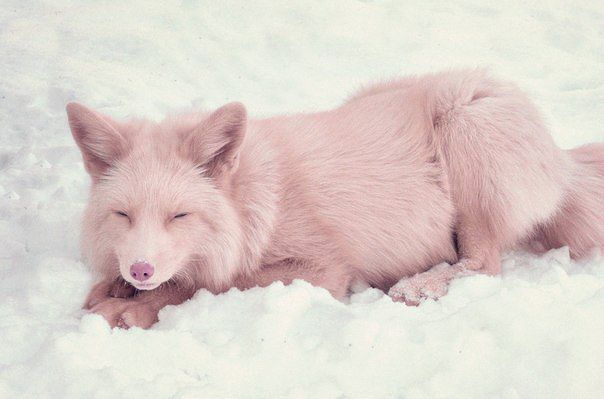 "Mika the pink fox!! A 4-month fox color ""pink champagne ..."