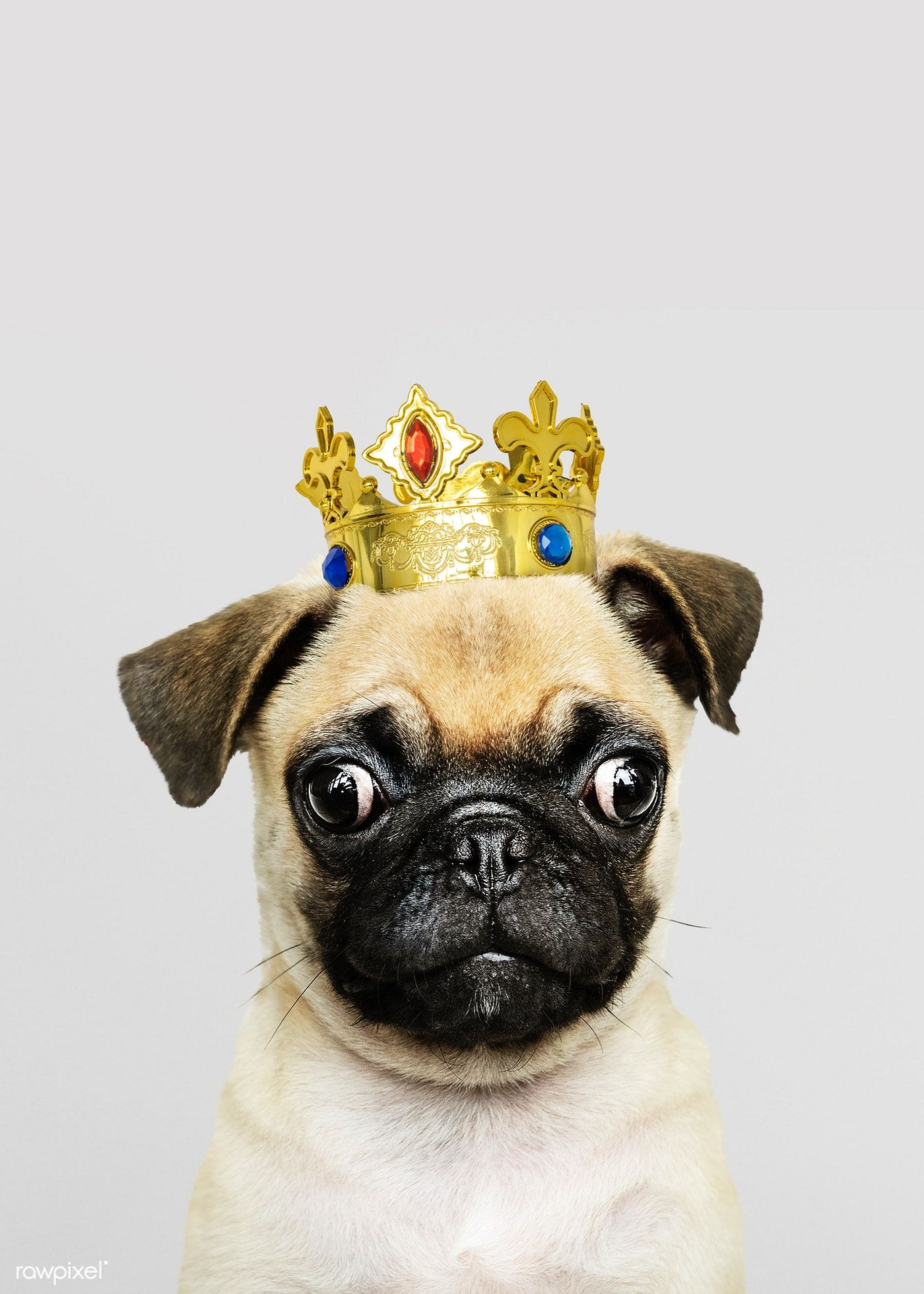 Download Premium Photo Of Cute Pug Puppy In A Gold Crown 2024939