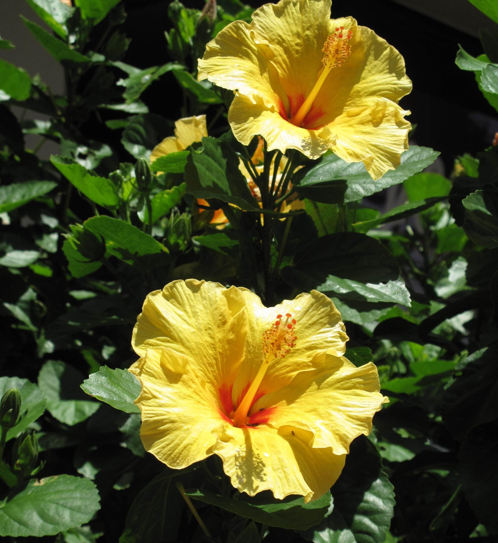 Yellow Hibiscus Bush hibiscusbush  Hibiscus flower  Pinterest