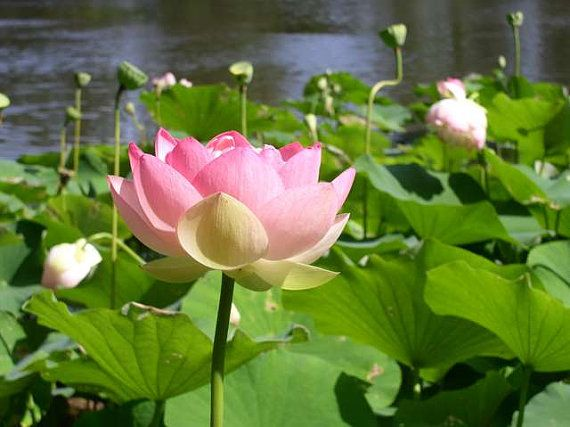 Nelumbo Nucifera 6 Seeds Sacred Lotus By Worldwondersgardens ม