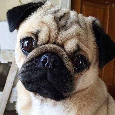 Pig Lindo Baby Pugs Cute Pugs Pugs