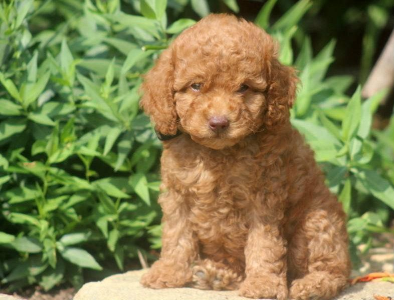 Mini Red Puppy Rare Toy Miniature F1 Apricot Red Cockapoo