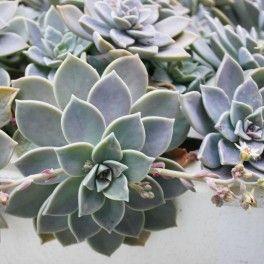 Graptopetalum Paraguayense Plantes Sauvages La Main Verte Et Fleurs