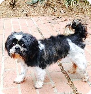 Atlanta, GA Shih Tzu. Meet Scamp, a dog for adoption