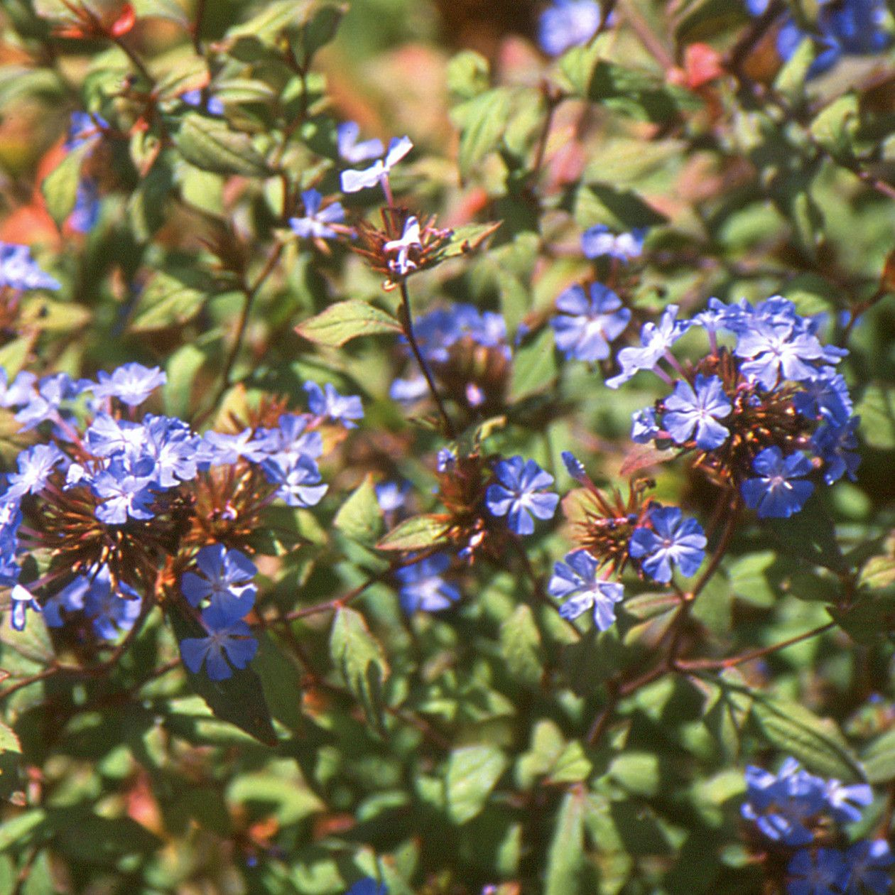 Ceratostigma willmottianum Hardy Plumbago - 3 litres | garden ...