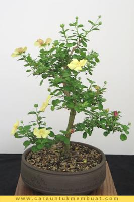 Bonsai Kembang Sepatu Bonsai Ide Berkebun Tanaman Semak