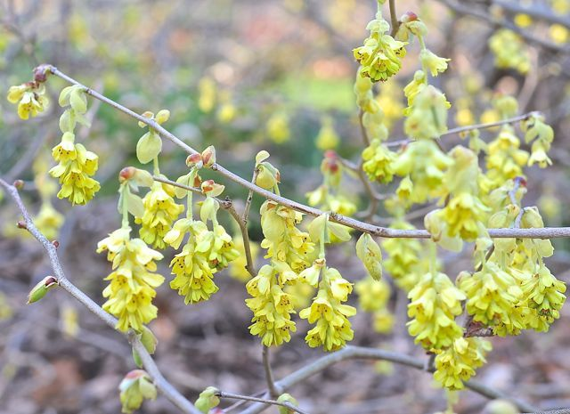 Beating forsythia to springs flowering shrub punch a slideshow of corylopsis spicata mightylinksfo