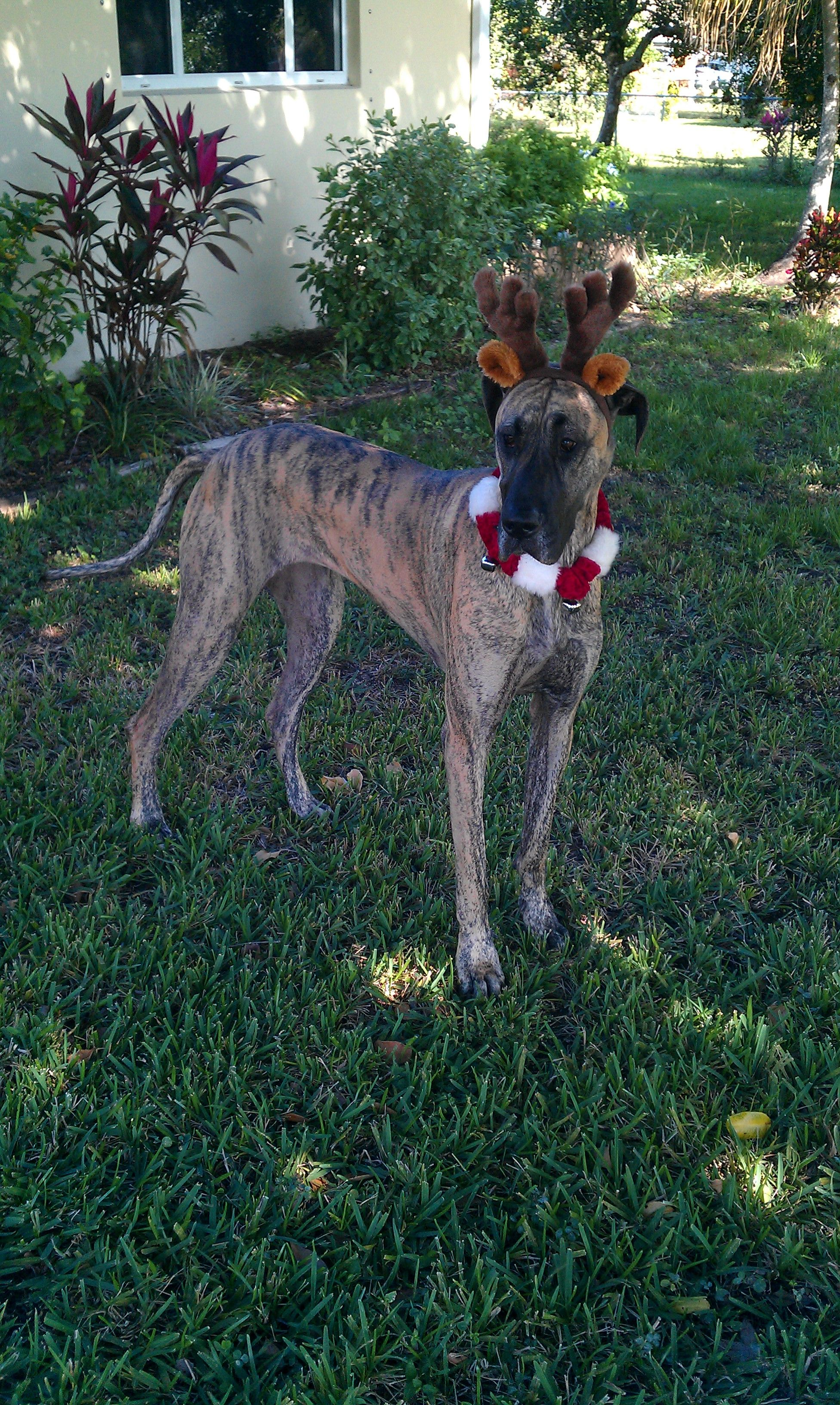 Sophi Angela C S Great Dane From North Fort Myers Fl Sophie