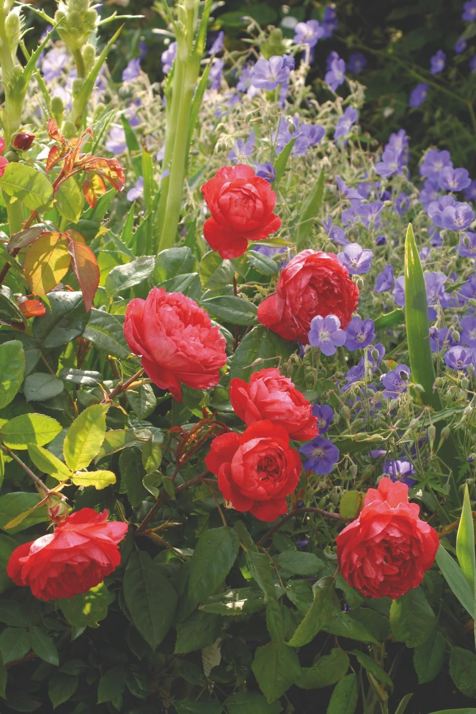The most popular english roses in america david austin english british rose breeder david austin creates some of the most beautiful flowers in the world find out which roses are most in demand in american gardens izmirmasajfo