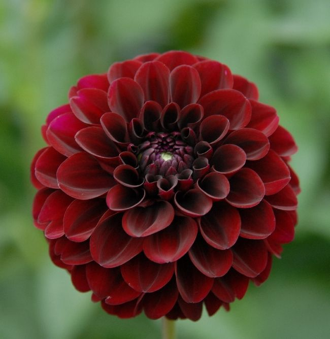 "Dahlia Burgundy Black Flower: Lights Out - 3 1/2"" Velvety Black Red Dahlia"