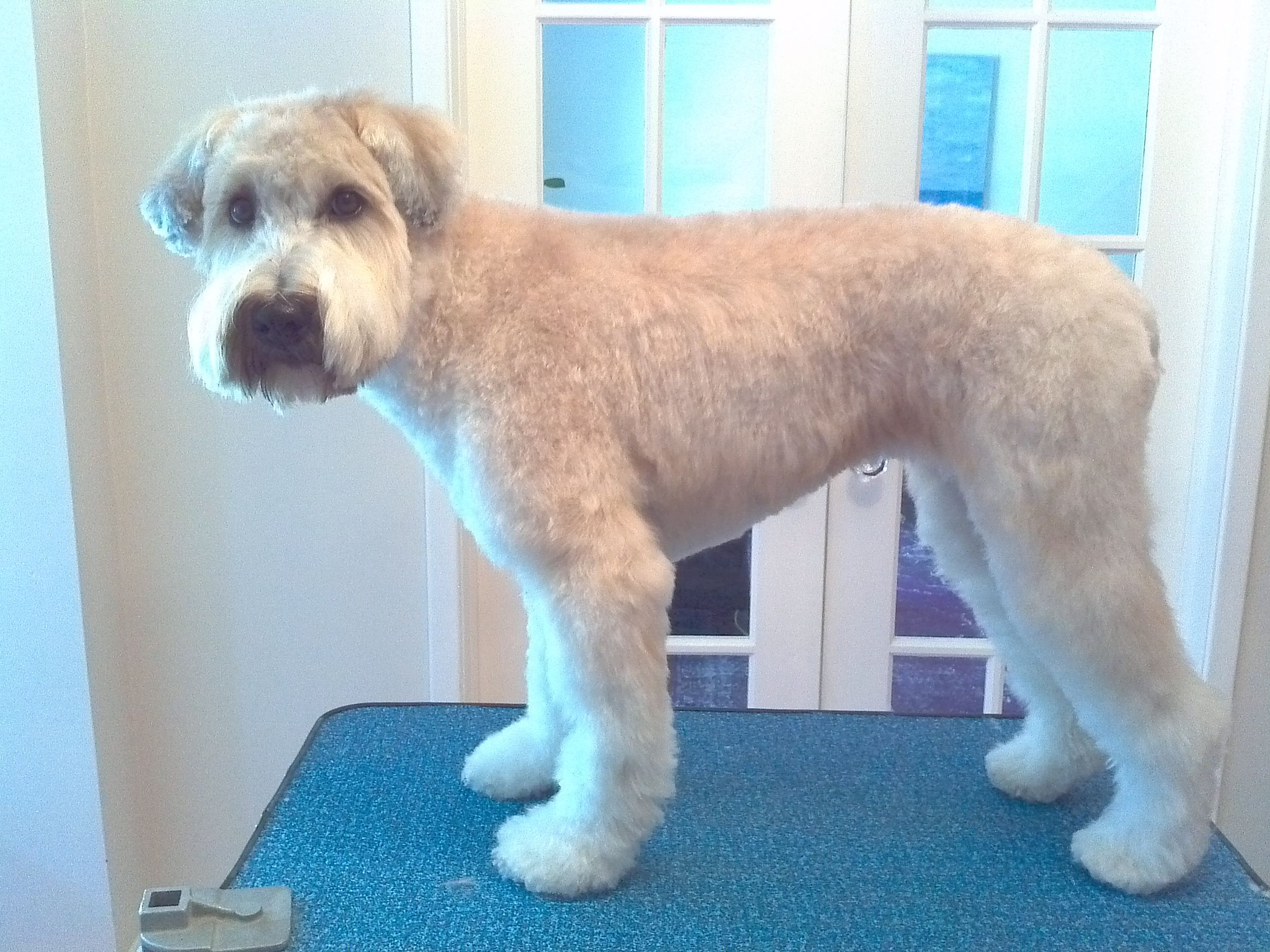 Indie In A Pet Trim Teddy Bear Head Soft Coated Wheaten Terrier