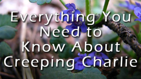 Creeping Charlie Weed Control: Lawn Care Cedar Rapids