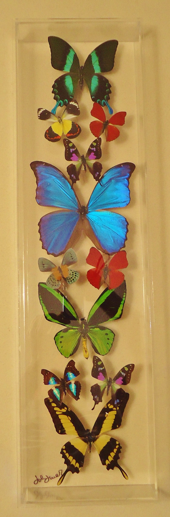 Butterfly display,real framed butterflies, real mounted butterflies ...
