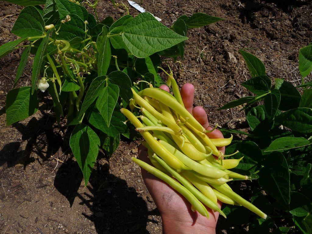 Https Flic Kr P 83Ldek Golden Wax Bean Harvest 400 x 300