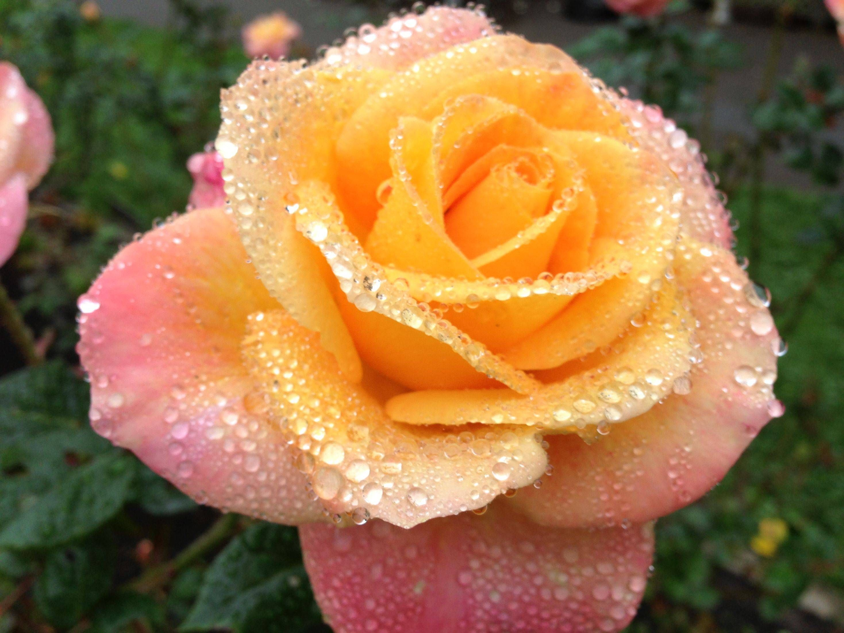 Perfectly misted rose