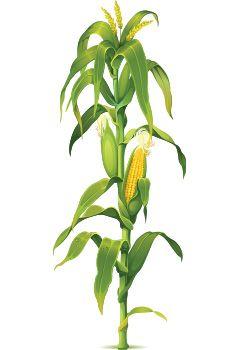 Corn Plant חיפוש ב Google Maiz En 2019 Milpa De Maiz