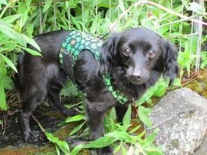 Adopt Jetta On Chihuahua Dogs Chihuahua Mix Dachshund Mix