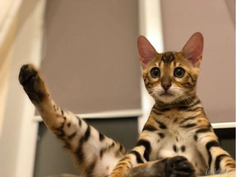 Bengal Cat Bengal Katze Bengal Cat Price Bengal Cats For Sale Bengal Cat Size Bengal Cat Cost Bengal Cat Rescue Bengal Kitten Pets For Sale Pets