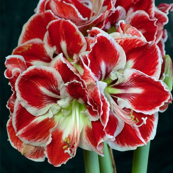 Amaryllis Flower Pictures Silk Red White Amaryllis Flowers Bulbs Amaryllis Flowers Amaryllis Flower Pictures Bulb Flowers