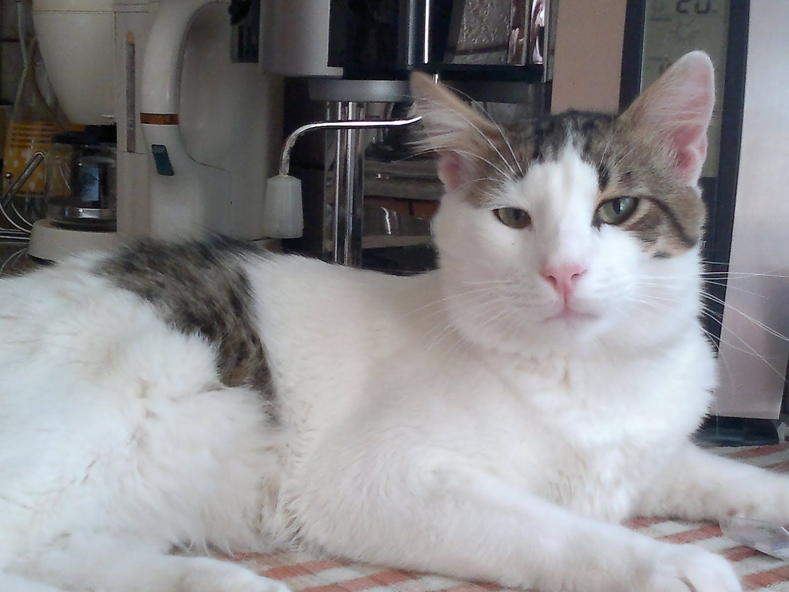 Gato del Egeo ( Aegean ) Es una raza natural de gatos procedentes de ...