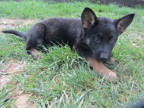 Litter Of 8 German Shepherd Dog Puppies For Sale In Staunton Va Adn 28169 On Puppyfinder Com Gender Fem German Shepherd Puppies German Shepherd Dogs Puppies