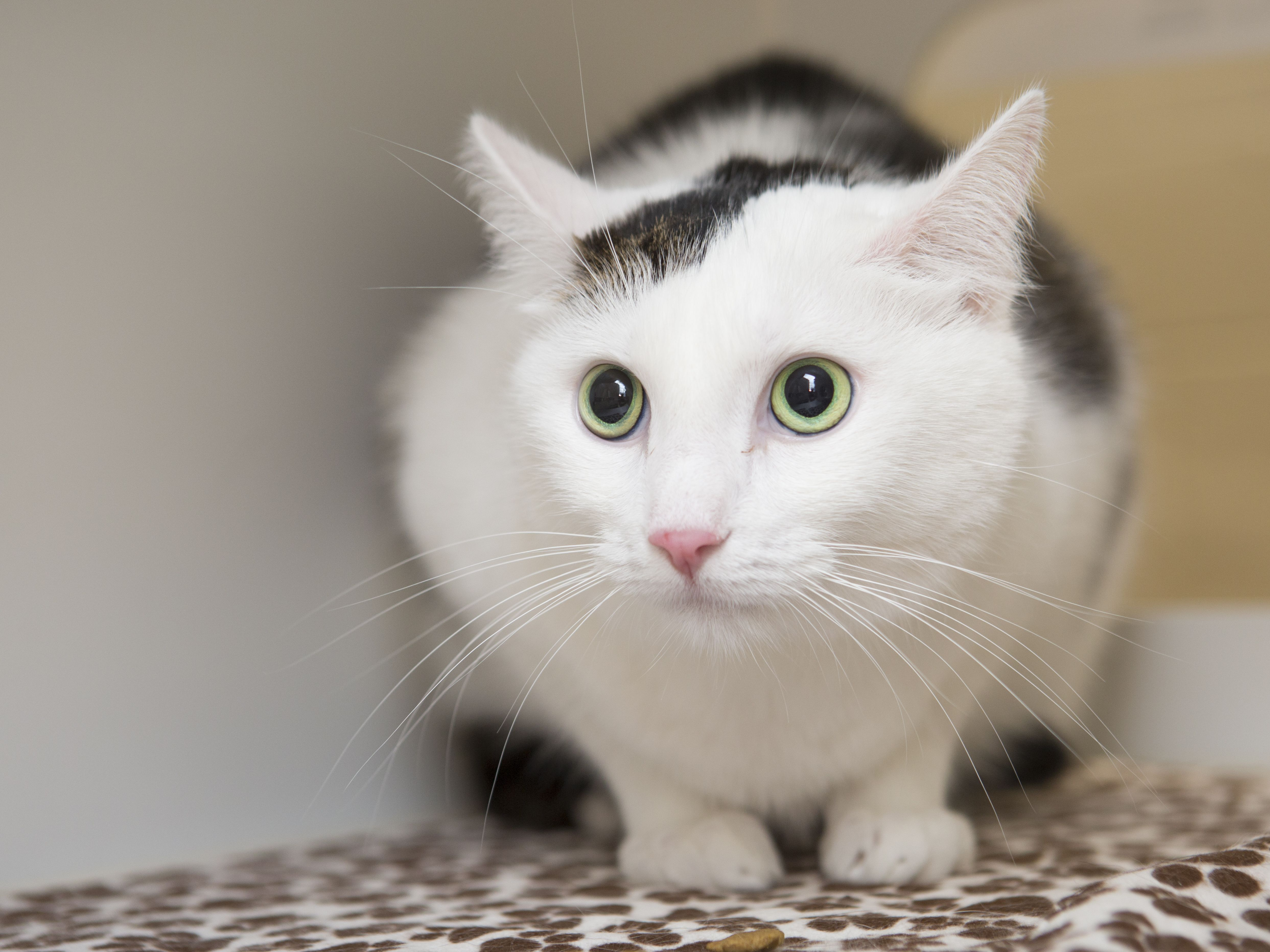 Kuma is a beautiful 4 year old cat available for adoption at the