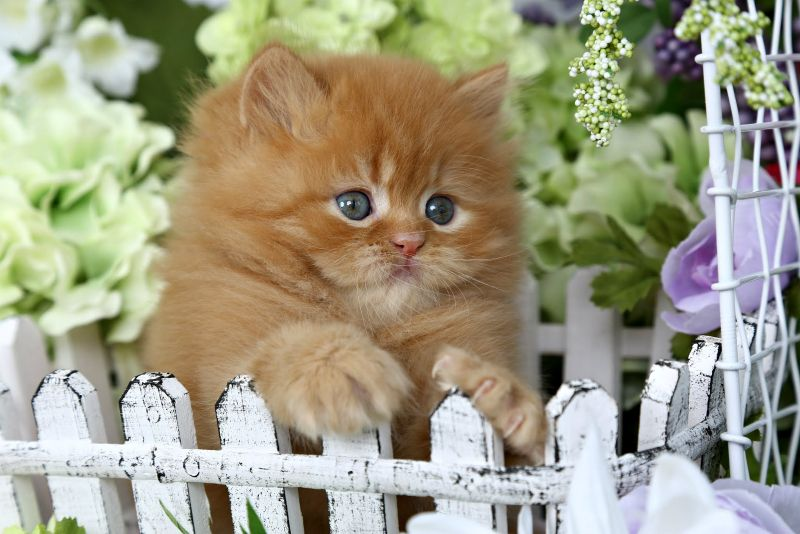Chester Cheetah Red Tabby Persian Kitten For Sale With Images