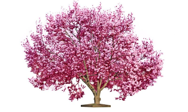 Seven Beautiful Flowering Trees That Grow Well In Florida Flowering Trees Blooming Trees Beautiful Tree