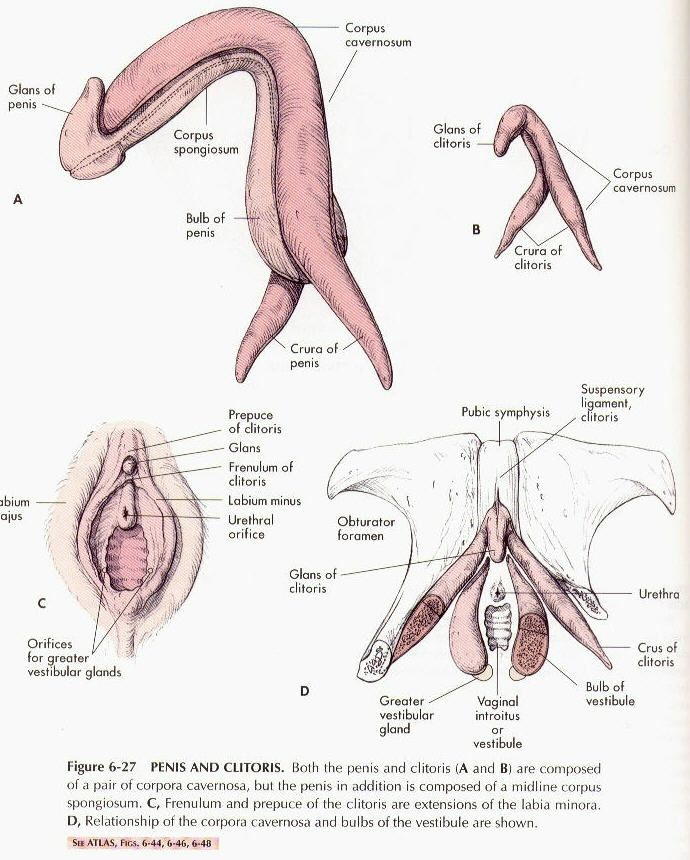Internal size of a clitoris